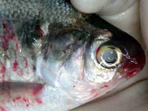 A VHS-infected gizzard shad from Lake St. Clair. Photo: Mohammed Faisal, Michigan State University.