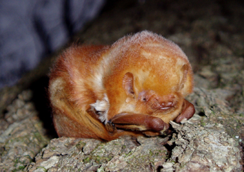 Eastern red bats like this one are one of the most common species killed by wind turbines. Photo: Billy Liar, via Flickr