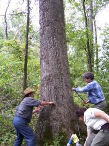 Gregory C. Wiles, right, and researchers core a tree at Kline Farm in Ohio to study climate change throughout the United States. Photo by College of Wooster Tree Ring Laboratory