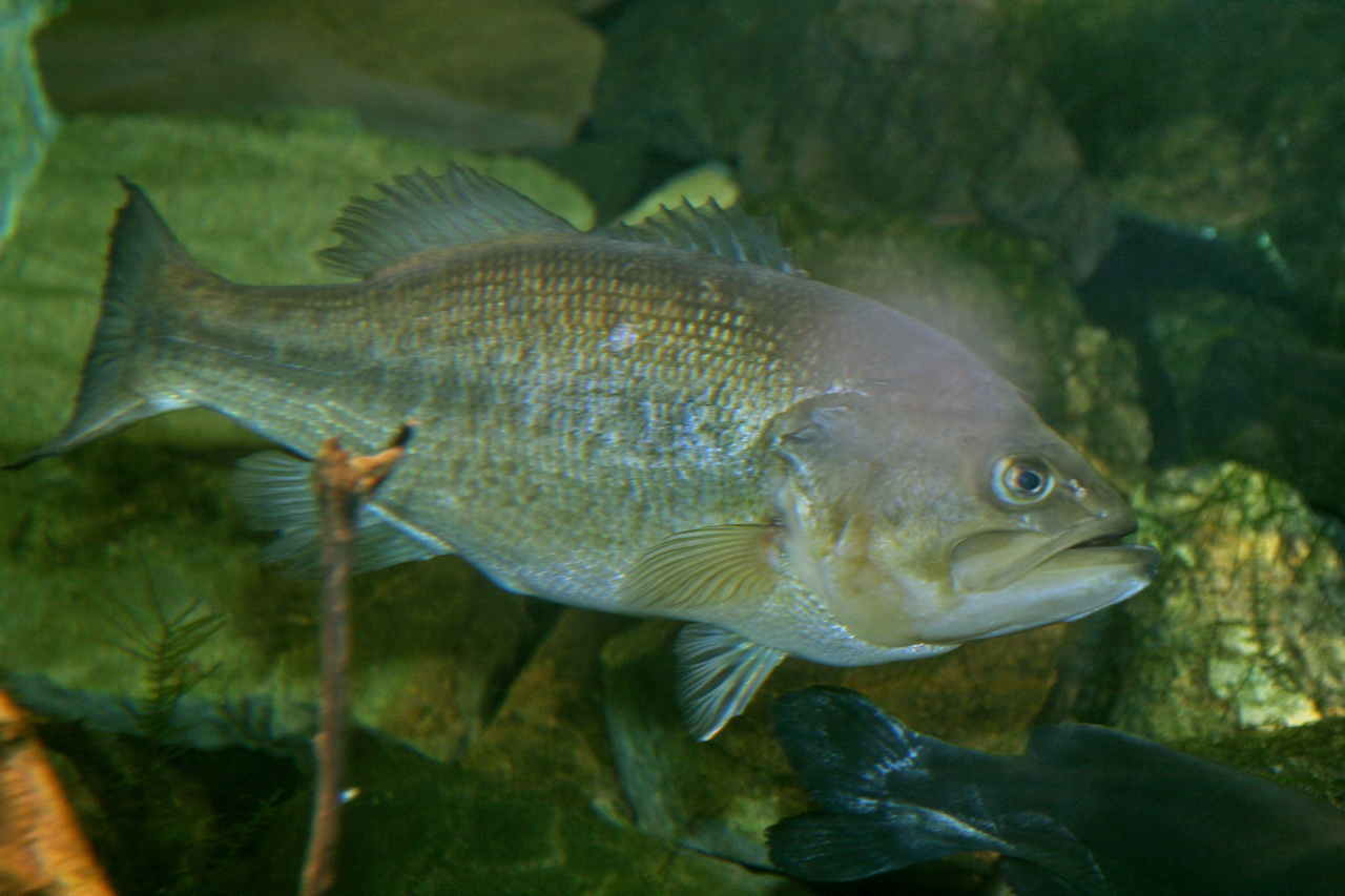 largemouth_bass_micropterus_salmoides