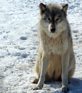 A captive gray wolf at the Wildlife Science Center in Minnesota.