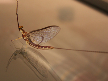 Before taking this winged form, mayflies live burrowed in lake sediment where they kick up phosphorus. Photo: MJ Swart, via flickr