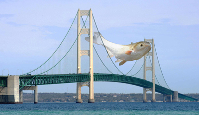 Asian carp over the Mackinac Bridge