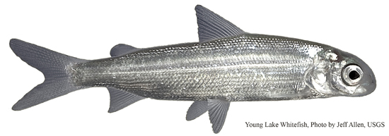A young lake whitefish