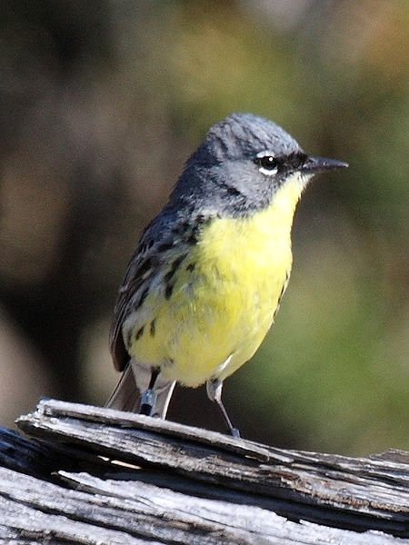 Researchers counted 1,826 male Kirtland's warblers in 2009. Photo: Howcheng. Retrieved from Wikimedia Commons.