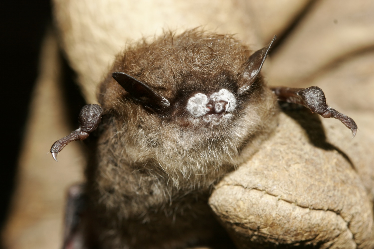 A little brown bat sports the fungus responsible for white-nose. Photo: Courtesy Ryan von Linden/New York Department of Environmental Conservation