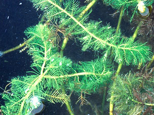 Eurasian Watermilfoil Photo: National Park Service.