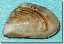 "Quagga ""The Quagmeister"" Mussel. Photo: USGS."