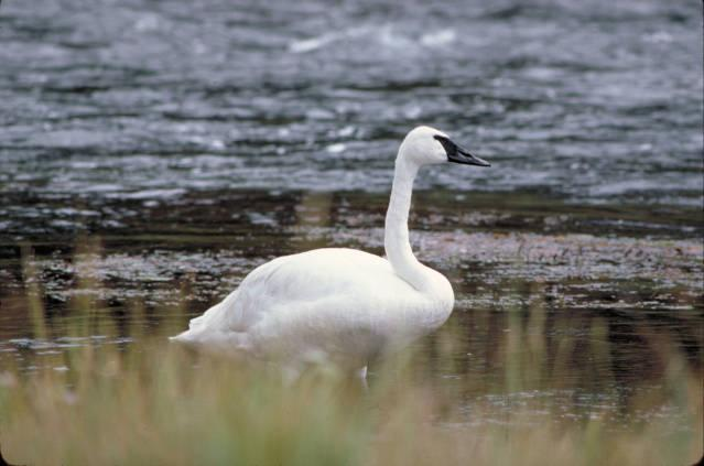 trumpeter swan ontario. About 8000 trumpeter swans are