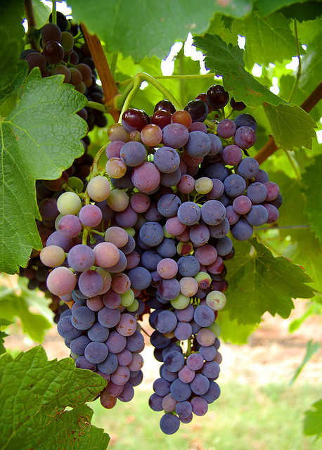 The Michigan wine industry has grown since the 1970s, according to Michigan State University. Photo: RaeAllen (flickr)