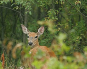 A new app from Michigan's DNR will make it easier for hunters to find this guy. Photo: recubeJim (Flickr)