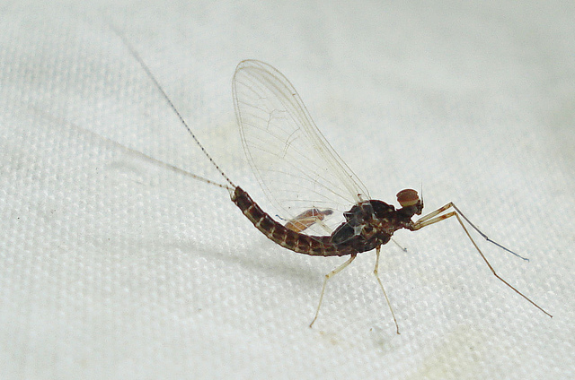 Flying Insects of Michigan http://greatlakesecho.org/2012/03/19/warm-march-weather-could-bring-early-insects-fly-anglers