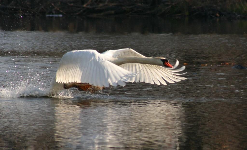 Mute swan Photo: Karen Stamper