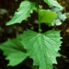 Garlic mustard, Photo: Wisconsin Department Natural Resources