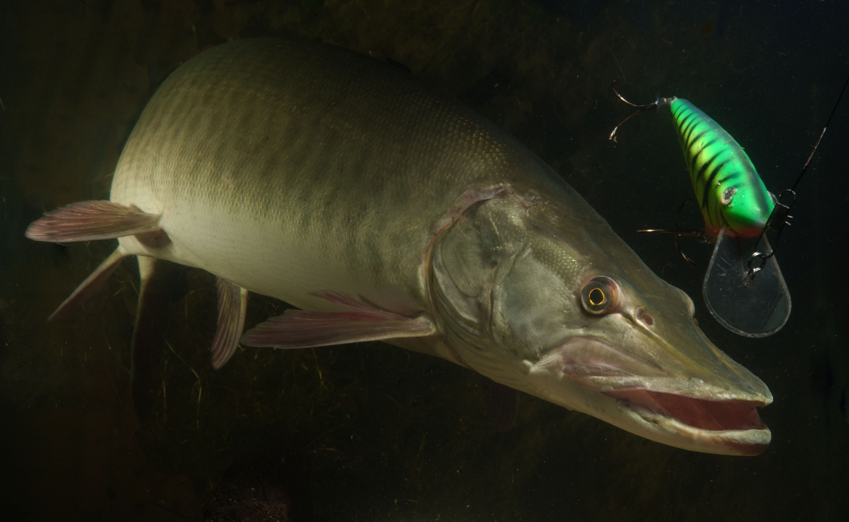Michigan expands great lakes muskie stock great lakes echo for Muskie fish pictures