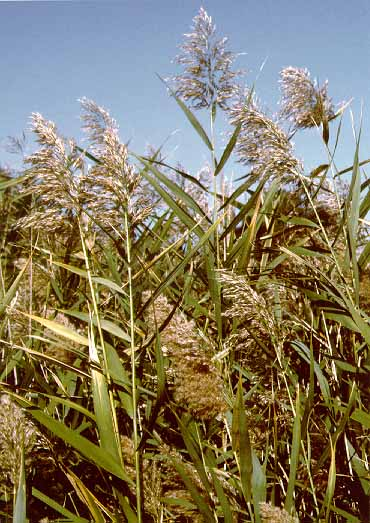 Phragmites are a grass like invasive species that can grow to a height of 10 ft. Photo: Nps.gov.