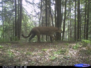 A cougar walking along a wildlife trail in southern Marquette County, Michigan. Photo: Michigan Wildlife Conservancy