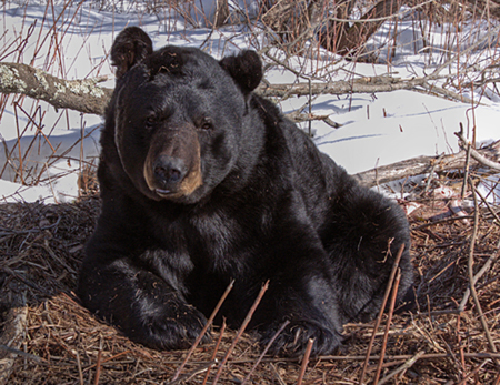 Black bear caption. Photo: Department of Natural Resources.