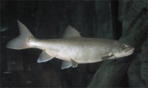Lake trout are a predator fish at the top of the food web, so chemicals accumulate in their tissues. Photo: EPA.gov.
