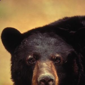 American Black Bear Photo: U.S. Fisheries and Wildlife Service