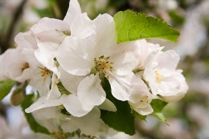 closeup apple blossom Stramma
