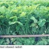 Oilseed radishes. Image: Michigan State University Cooperative Extension