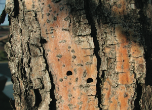 Exit holes from emerald ash borer. Photo: U.S. Forest Service.