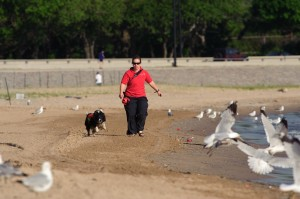 Collies and their handlers chase seagulls from Chicago beaches. Picture from  Chicago Park District Special Collections.