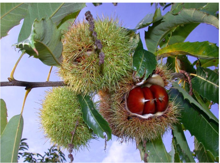 Michigan's chestnut crop took a hard hit this year thanks to the unusual spring weather in the Great Lakes region. Photo: Michigan State University