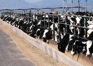 Confined animal feeding operations produce a lot of manure full of hormones and antibiotics. Photo: Environmental Protection Agency.