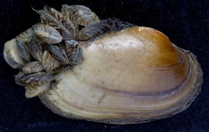 Native mussels are disappearing from Michigan waters, primarily as a result of the invasion of zebra and quagga mussels. Dozens of zebra mussels are stacked on this native mussel, called a fatmucket (Lampsilis siliquoidea). They can seal the fatmucket shut, killing it. Image: Kurt Stepnitz.