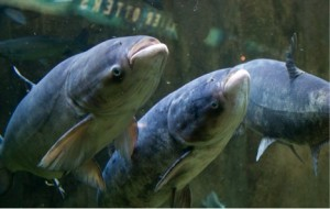 The ever pesky Asian carp. Photo: Shedd's Aquarium.