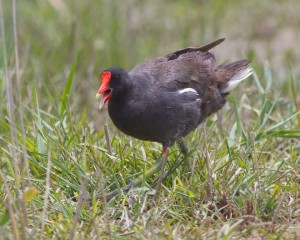 gallinule Mike Dee