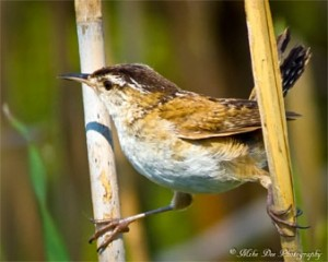 Marsh wren. Photo: Mike Dee Photography