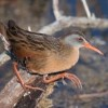 Virginia rail. Photo: Mike Dee Photography
