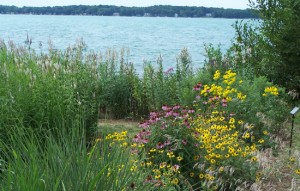 Native vegetation in the unmowed area between the sand and the water helps slow runoff and prevents erosion. Compared to turf grass, the native plants have far deeper roots than turf grass, and therefore absorb polluted runoff before it enters Lake Huron. Photo: Huron Pines