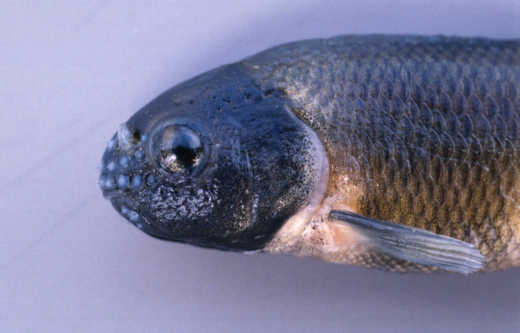The male fathead minnow's fat pad and pimple-like bumps, called tubercules, will shrink if he is exposed to estrogen. Fathead minnows, sold in Wisconsin bait shops and swimming in its waters, are a key species for research on endocrine disruption. Photo: John Lyons/Wisconsin Department of Natural Resources