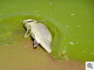fish in algae, Lake Erie