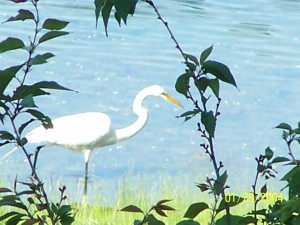 Natural shorelines provide habitat for birds, such as this egret. Photo: Jim Brueck, Native Lakescapes, LLC.
