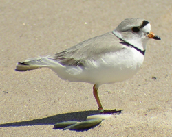 Volunteers are needed to monitor the critically endangered piping plover, pictured above. Photo: Alice Van Zoeren