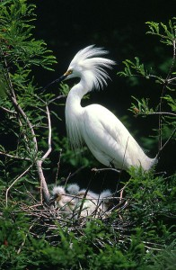 A snowy egret. Photo: U.S Fish and Wildlife Service.
