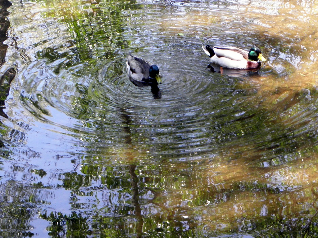 Mallard ducks will have a new home in a wetland designed to slow storm water. Photo: Karen Schaefer