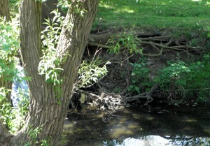 Tree roots are bared by erosion, just one problem green infrastructure can fix
