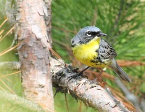 A focus of Kirtland's warbler conservation is their dependency on young jack pines. Photo: Joel Trick, U.S. Fish & Wildlife Service.
