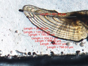 An otolith, sliced and with its annual rings measured. Image: Lee Schoen.