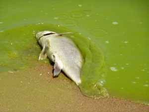 Toxic algal blooms are causing major issues in Lake Erie. Source: QUEST Ohio