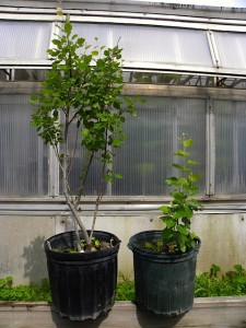 Wildtype (left) and genetically reduced gibberellic acid (right) hybrid poplar genotypes. Photo: Christine Buhl