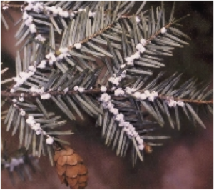 Hemlock Woolly Adelgid on a pine tree branch. Photo: Michigan Department of Natural Resources