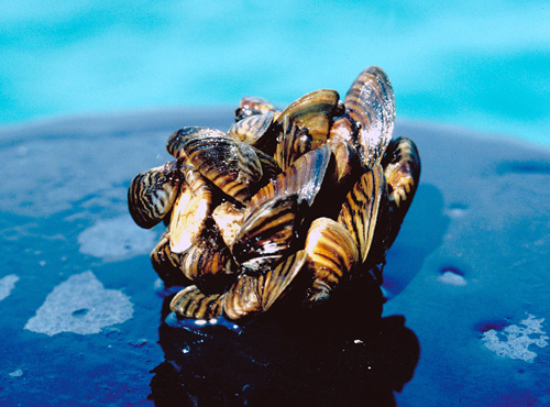 A clump of invasive zebra mussels. (Photo: U.S. Fish & Wildlife Service)
