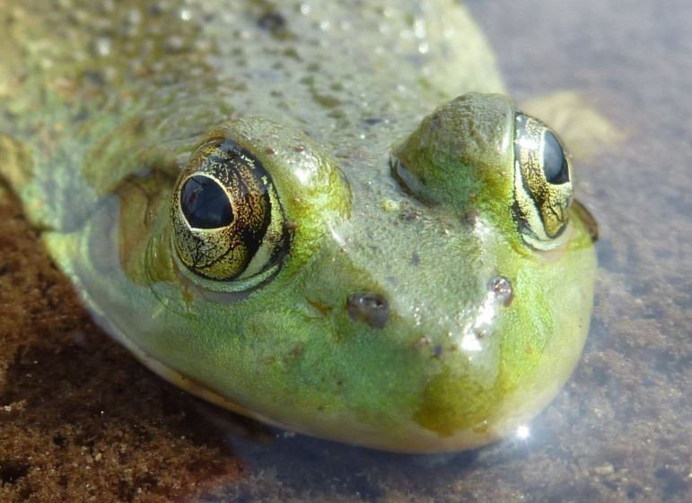 A bullfrog in Michigan's Bois Blanc Island. (Photo: